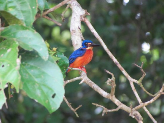 Borneo Nature Lodge: Kingfisher