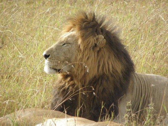 Safari Talk Day Tours: Male lion