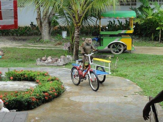 Lanta Monkey School: Apa på tuk tuk