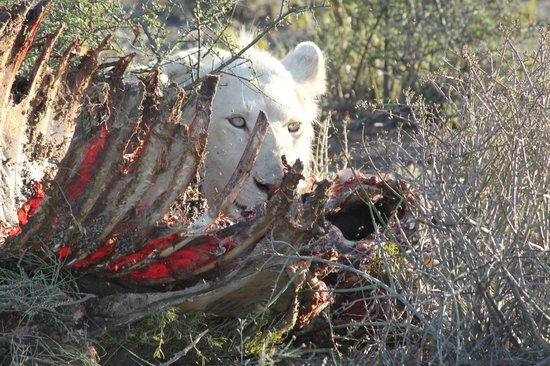 Sanbona Wildlife Reserve: White lion enjoying the kill