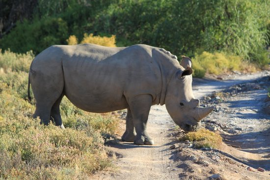 Sanbona Wildlife Reserve - Tilney Manor, Dwyka Tented Lodge, Gondwana Lodge: Rhino crossing our path