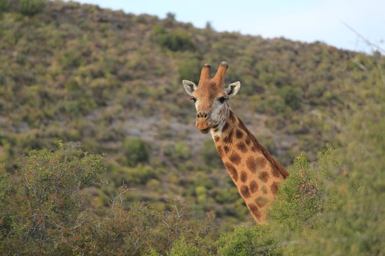 Sanbona Wildlife Reserve - Tilney Manor, Dwyka Tented Lodge, Gondwana Lodge: Giraffe