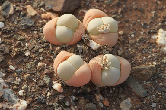 "Sanbona Wildlife Reserve - Tilney Manor, Dwyka Tented Lodge, Gondwana Lodge: delicate little cactus - ""babies bottoms"""