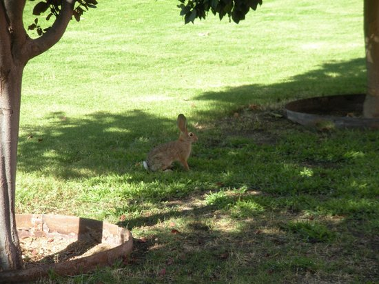 Arizona Inn: bunny near tennis courts