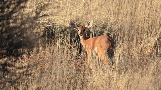 Kalahari Anib Lodge: Steenbok