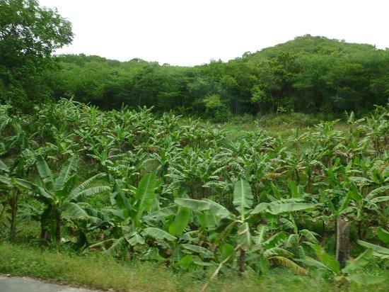 Luxury Safari Antigua: Black Pineapples