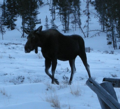 The Line Shack Lodge: moose next to Lodge