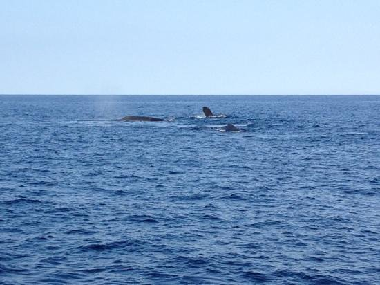 The Westin Maui Resort & Spa: humpback whales in dec from Gemini charters whale watch