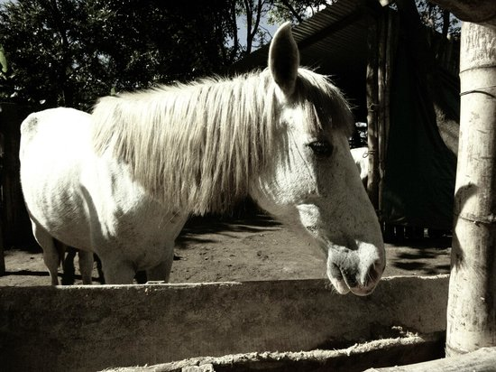 La Mariposa Spanish School and Eco Hotel: Horse at the Study Center.