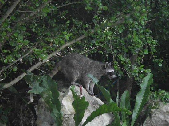 Grand Sirenis Riviera Maya Resort & Spa: Raccoon!