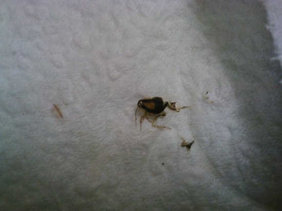 Redwood City, Califórnia: One of the several roaches I killed and took to the front desk