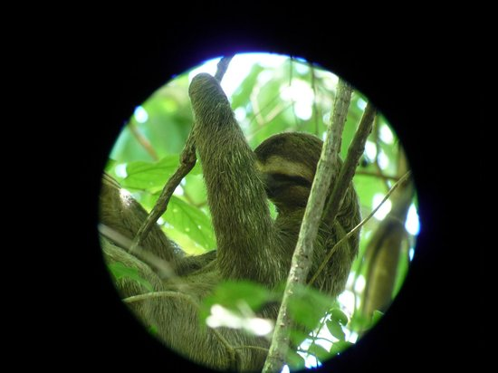 Arenas del Mar Beachfront and Rainforest Resort, Manuel Antonio, Costa Rica: Taken through Ersel's telescope -we could see his belly move with each breath. Many thanks, Ers