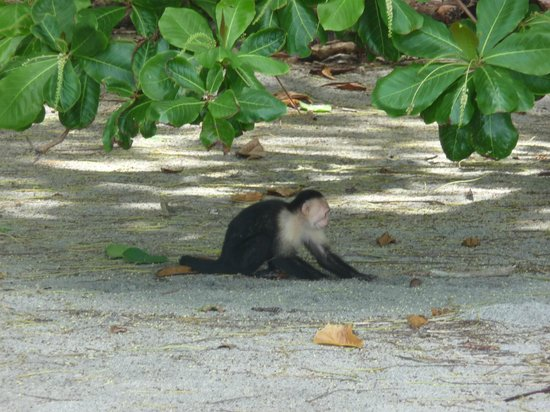 Arenas del Mar Beachfront and Rainforest Resort, Manuel Antonio, Costa Rica: White faced capuchin on Playitas