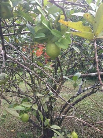 Mermaid's Secret - Riverside Retreat: our personal lime tree! fresh juice every morning