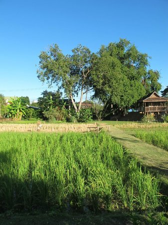 Siripanna Villa Resort & Spa: Rice field