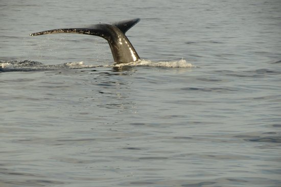 Captain Dan McSweeney's Whale Watching Adventures: Humpback whale