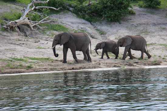 Chobe Game Lodge: elephants coming to the river to drink & bathe in the heat of the day