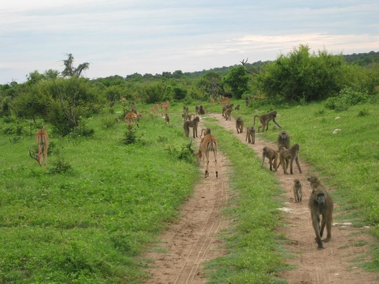 Chobe Game Lodge: baboons & impala...guaranteed, the rest, maybe...cats very elusive