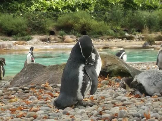 ZSL London Zoo : penguins at London Zoo