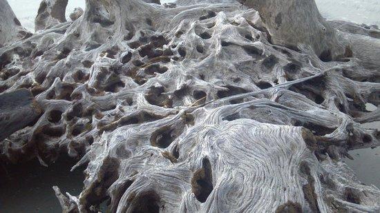 Driftwood Beach: Live oak root system