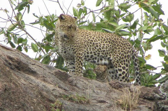 Arusha, Tanzania: Leopard with cub