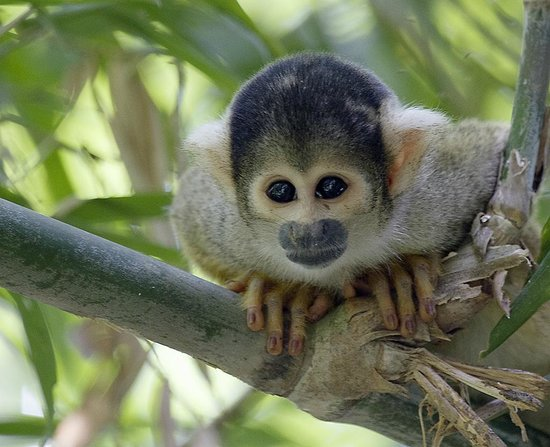 Tambopata Research Center: Squirrel Monkey