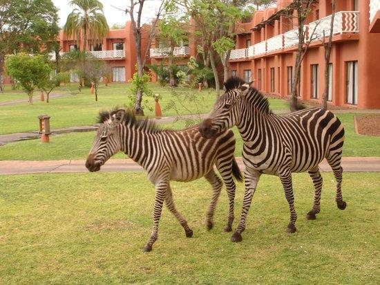 AVANI Victoria Falls Resort: Cuidado com as zebras