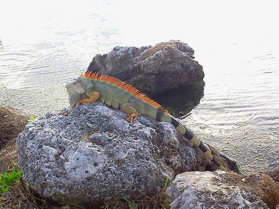 Village at Hawks Cay Villas by Keys Caribbean: visitor in our back yard....