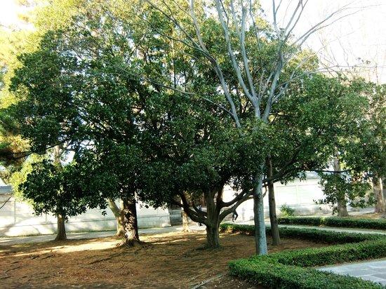 Kuil Soji-ji: 大きな樹木