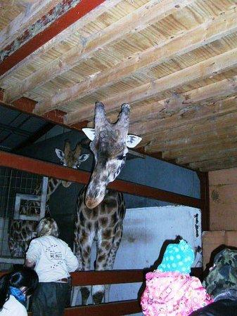 South Lakes Safari Zoo: Say hello to Mrs Giraffe!