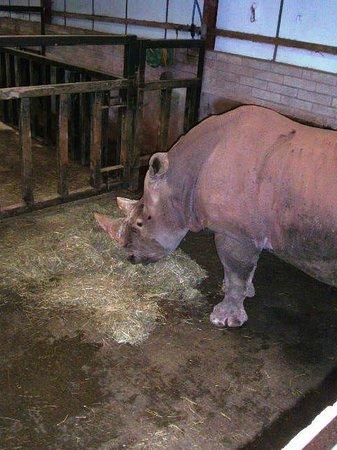 South Lakes Safari Zoo: Mr Rhino enjoying a snack!