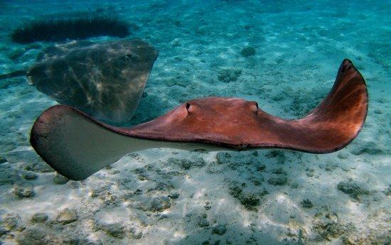 Bora Bora Lagoonarium : Sting rays