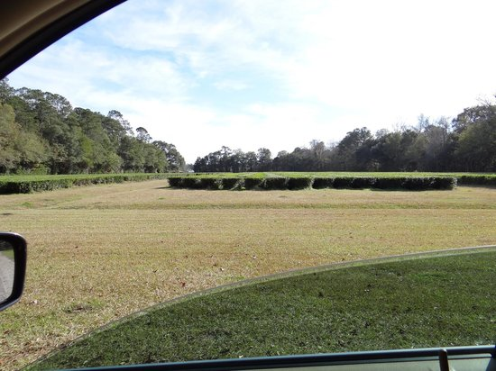 Charleston Tea Plantation: picture of fields from car