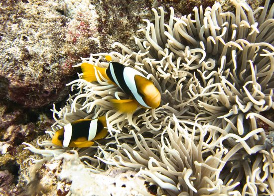 Devil's Point Dive: Clown fish