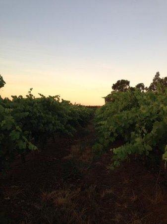 Lyndoch Hill: vineyards next to rose garden