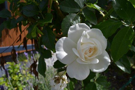 Cedar House : Belle rose