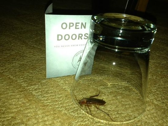 Hilton Boston Downtown / Faneuil Hall: Cockroach that just woke me up by crawling across my face at 3AM