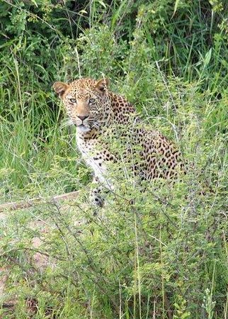 Lion Sands - Tinga Lodge: Our first leopard sighting