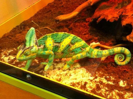 Esapolis - Museo Vivente degli insetti : Camaleonte