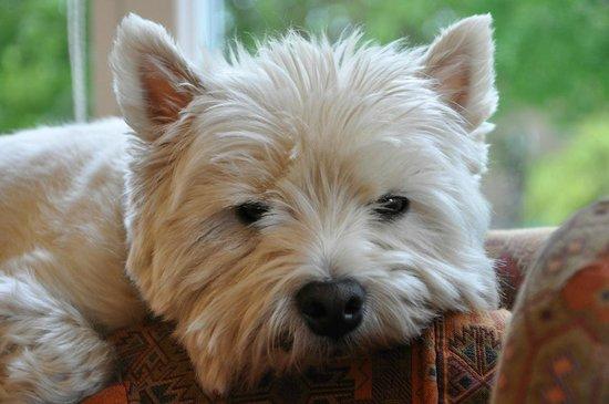 Cramond Lodge B&B: Oscar our friendly West Highland Terrier