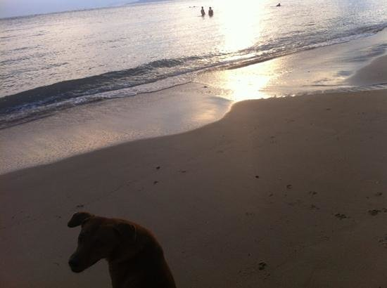 Samui Tonggad Resort: friendly beach dog and sunset