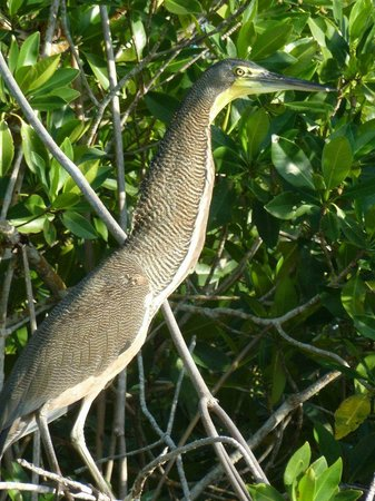 Sian Ka'an, Mexico: Tiger Throated Heron