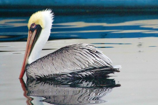 Largo Resort: Brown Pelican looking for fish