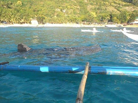 Bluewater Sumilon Island Resort: Whale Shark watching