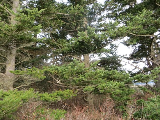 Ebey's Landing National Historical Reserve: pine forest