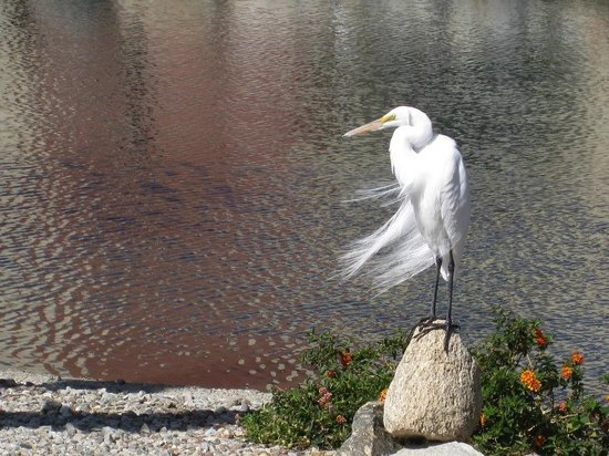 Caliente Springs Resort: white egret fishing