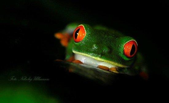 Selva Verde Lodge: Red-eyed Treefrog