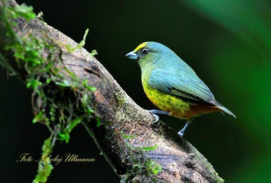 Selva Verde Lodge: Olive-backed Euphonia