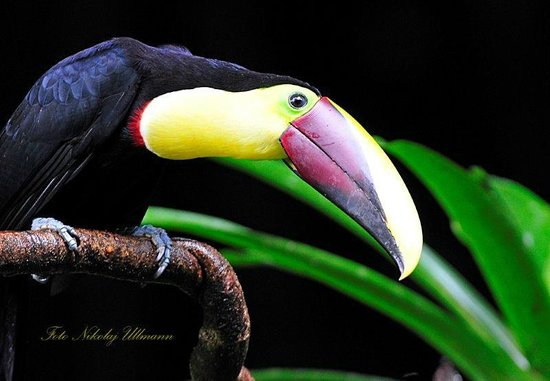 Selva Verde Lodge: Chestnut-mandibled Toucan
