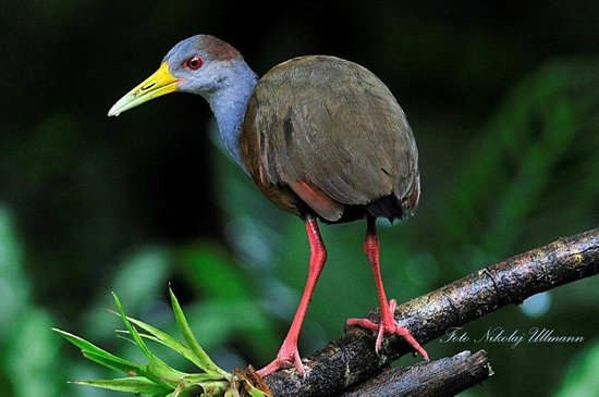 ‪سيلفا فيردي لودج: Grey-necked Wood Rail‬